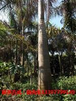供应大王椰子、金山葵