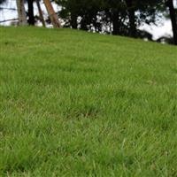 高羊茅种子-高羊毛种子-高羊茅草籽-高羊茅草种-草坪种子