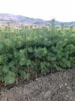 *新供应:1米樟子松营养杯大苗