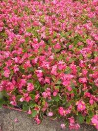 江苏常州花卉基地供应时令草花、海棠、孔雀草、矮牵牛、一串红等