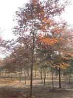 江西榉树价格,江西榉树基地