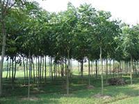 黄山栾树,江西黄山栾树基地,江西黄山栾树价格