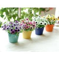 低价出售雏菊、玛格丽特、金光菊、松果菊等 菊花盆栽、菊花种子