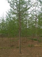 常年低价供应银杏树