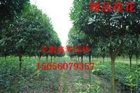 安徽鑫海園林苗木基地常年供應 桂花