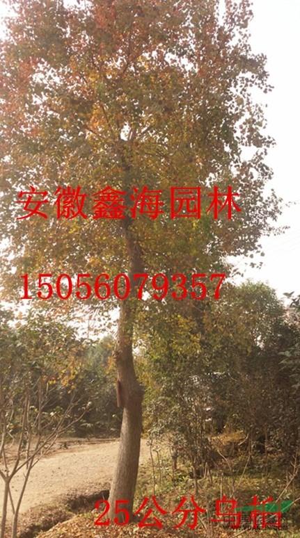 安徽鑫海园林常年低价供应 乌桕