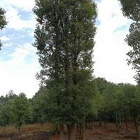 3-5杆移栽香樟,丛生香樟树,多杆香樟价格,香樟树