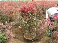 江苏4公分6公分8公分红叶石楠*低价格红叶石楠球批发