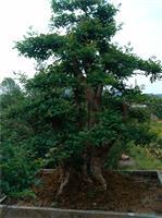 浙江大量对节白蜡树桩盆景销售