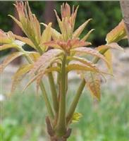 红叶香椿种苗种子批发