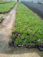常州供应优质地被植物观赏草,丛生福禄考,金鸡菊,黄金菊等