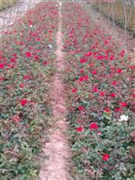 河南許昌大量供應小盆月季自家苗圃貨源