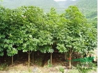 七叶树苗木价格_