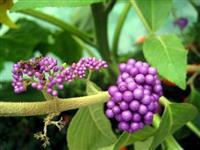 紫竹 紫珠  白棠子树