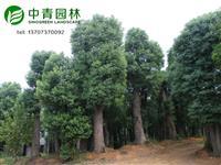 直径60公分,70公分,80公分移植大香樟树