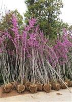 常年低价供应紫荆 香樟 三角枫 乌桕 朴树 无患子 桂花
