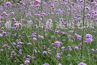 供应花叶玉簪、矮麦冬、石蒜、八宝景天等草花地被