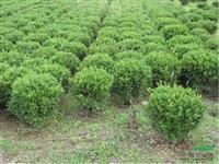 供应瓜子黄杨色块苗、p40-200cm瓜子黄杨球