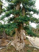 造型对节白蜡盆景树桩供应