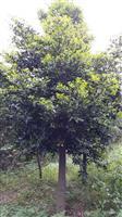 广东省佛山市供应大量桂木、竹柏