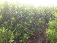 萧山青珊瑚法国冬青珊瑚绿篱
