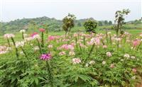 供应醉蝶花|醉蝶花种植方法 |醉蝶花种植技巧