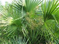 箬棕(龙鳞榈)----优美、壮观的耐寒棕榈