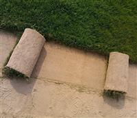 海滨雀稗耐盐碱的草坪足球场草皮