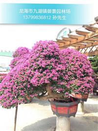 三角梅盆景圖片 三角梅怎么種植