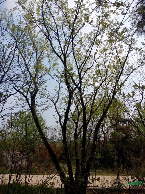 丛生朴树,价格_丛生朴树,价格图片库_江苏雨润苗木
