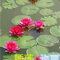杭州萧山大量快乐赛车开奖水生植物和地被植物睡莲,荷花,水生美人蕉