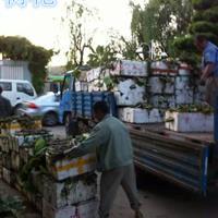 杭州大量供应睡莲,荷花,西伯利亚鸢尾和其它水生植物,自产自销