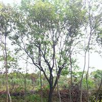 安徽山杏、柿树、枣树、山桃、构树、白榆乡土树供应商