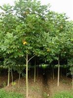 现在鹅掌楸树苗产地,马褂木价格