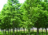 柳杉价格报价,日本柳杉价格:杆径5cm柳杉38元