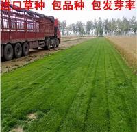 加拿大进口草坪种子 多年生黑麦草种子 叶细 坪质优(热销)