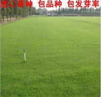 批发草坪种子 多年生黑麦草 坦克 四季种植 等草皮 草种 草