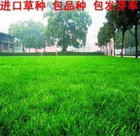 批发草坪种子 四季长青 绅士 草种 多年生黑麦草 等各种草皮