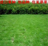 批发进口多年生黑麦草草坪种子 帅旗2代 庭院山坡绿化四季常青