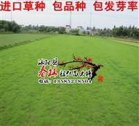 进口不需要修剪草坪种子 矮生百慕大草种 防沙固土 包发芽率