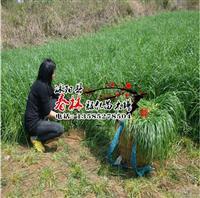 批发牧草种子 一年生黑麦草牧谣 南方北方 牧草种子黑麦草