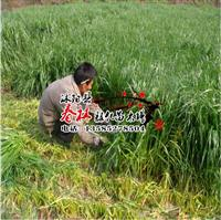 雅晴多年生黑麦草 批发牧用多年生黑麦草种子 跑量赚信誉 包芽