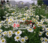 批发 优质进口景观 花卉种子 大滨菊种子 别名 西洋滨菊