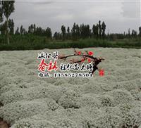 批发出口景观花卉种子 香雪球种子 别名庭芥 小白花