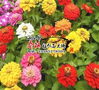 批发进口 花卉种子景 观花卉种子 太阳花种子 大花马齿苋种子