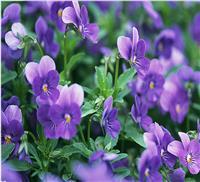 供应出口景观花卉种子 紫罗兰种子 草桂花 四桃克 草紫罗兰
