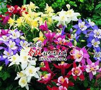 批发澳大利亚进口 大花耧斗花种子 耧斗菜种子 混色 景观花卉
