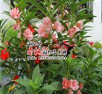 批发花卉种子 景观花卉 凤仙花种子 别名透骨草 金凤花
