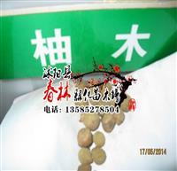 一* 林木种子 缅甸金丝柚木种子 珍贵树种种子 新采摘