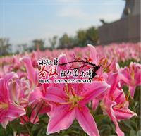 百合花种球 香水百合花种子 香水百合 庭院植物观花植物 种球